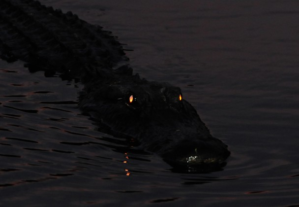 alligator eyes at night